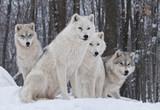 Pakiet Arctic Wolf
