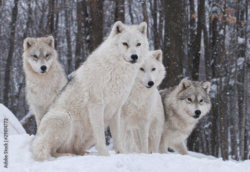Poster Wolf Arctic Wolf Pack
