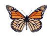 Butterfly underside, Monarch, Milkweed, Wanderer, Danaus plexipp