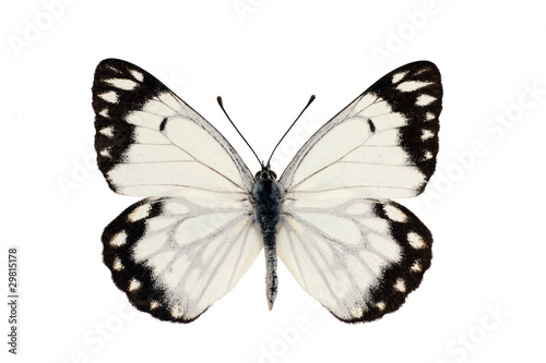 Poster Butterfly, Caper White, Caper Gull, Pale form, Belenois java, ma
