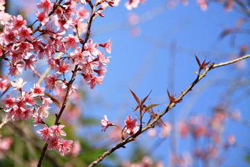 Thai cherry blossom, Sakura
