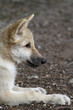 Polarwolf, Welpe