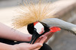 Feeding bird - crowned crane (Balearica regulorum)