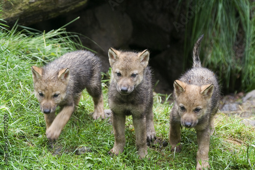 Poster Wolf Wolfswelpen ( Canis lupus )