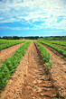 Lines of green vegetables in a farm field.