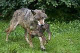 Wölfin und Welpe ( Canis lupus ) poster