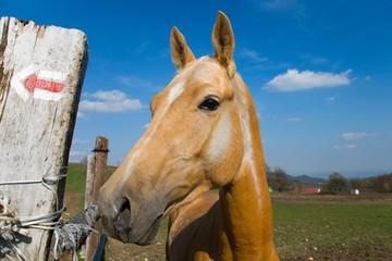 Achaltekinske kone na Novej lehote.