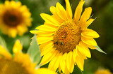 Yellow sunflower is pollinated by bees poster