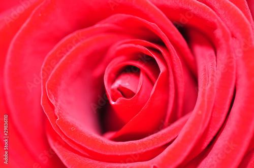 Fototapeta rote Rose