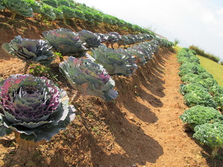 Purple cabbage field