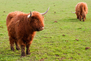 Two grazing yaks