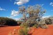 Tree in the australian bush