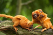 cute golden lion tamarins with baby
