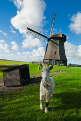 A goat in front of a dutch windmill
