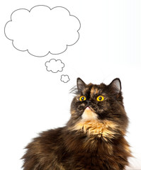 grant persian tortie cat on the white background