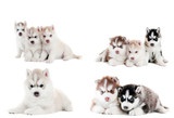 collection of little puppy of Siberian husky - 29863167