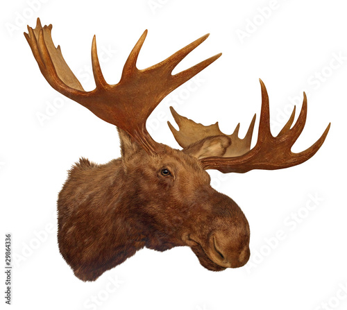 Moose head antler isolated on white background