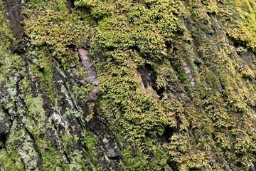 苔蒸した樹皮