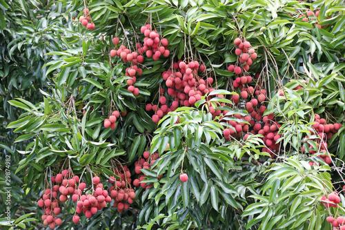 letchi arbre fruitier tropical photo libre de droits sur la banque d 39 images. Black Bedroom Furniture Sets. Home Design Ideas