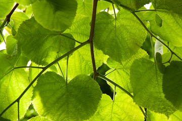 Lime-tree leaves