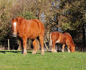 Grazing Suffolk Punch Heavy Horses