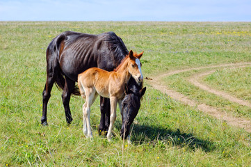 A horse with a foal on the meadow