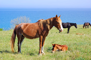 Horses pasturing on meadow near the sea