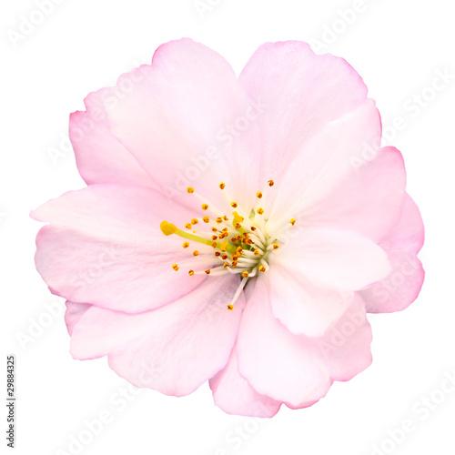 Papiers peints Cerises Freigestellte Nahaufnahme einer Kirschblüte