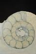 Detail Ammonit Querschnitt