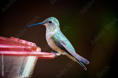 Tiny green hummingbird perched on plastic trough
