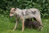 Wolfsfehe beim säugen ihrer Welpen ( Canis lupus ) poster