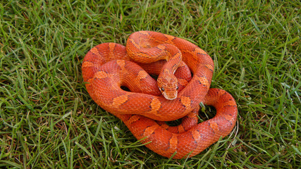 Hypo Bloodred