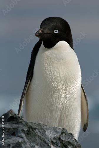 Staande foto Pinguin Adelie Penguin