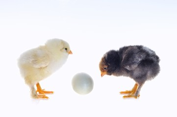 Huevo y pollitos.