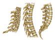 Tres vistas de la columna vertebral de perfil