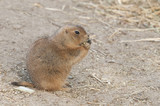 Prairie dogs (Cynomys) are burrowing rodents native to the grass poster