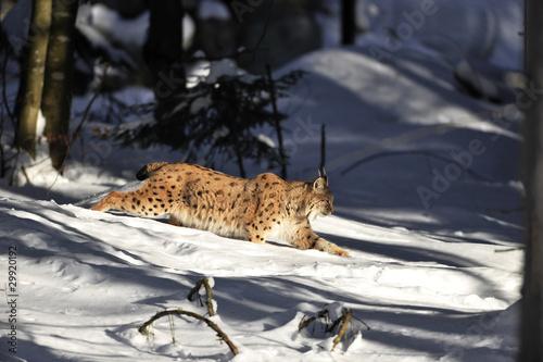 Aluminium Lynx Luchs im Tiefschnee