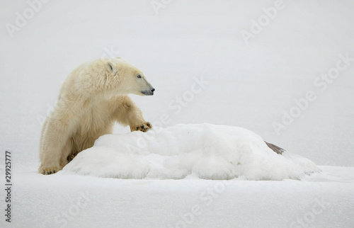 Foto op Canvas Natuur Portrait of a polar bear.