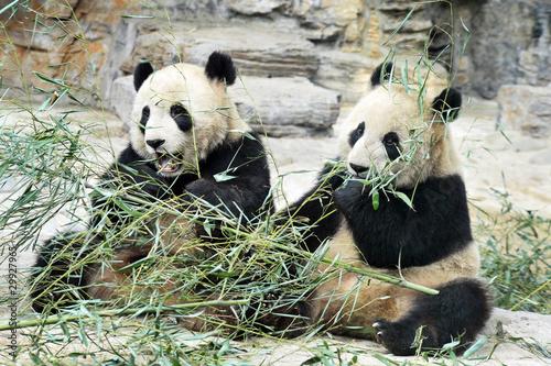 Panda Bears in Beijing China - 29927965