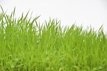 Gras, Fokus auf hinterem Saum