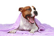 Staffordshire terrier, lying under soft blanket