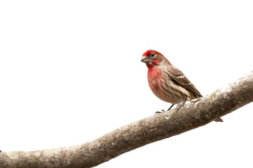 Male House Finch bird  on limb