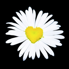 closeup of daisy with heart in the center over black