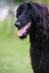Black afghan hound dog