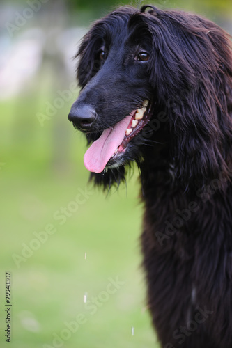 Black afghan hound dog