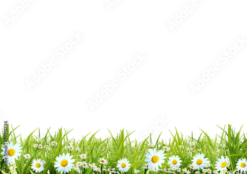 Grass with white camomiles on a white background