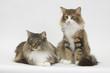 couple de chats des forêts norvégiennes