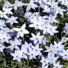 Fruehlingssternblume; Ipheion uniflorum