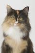 portrait d'une chatte skogkatt tricolore