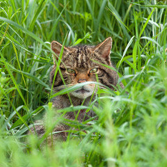 Scottish Wildcat in long grass